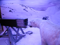 Diorama of a polar bear trap